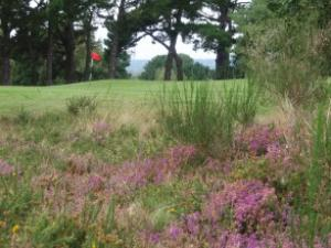 7th Green from behind the heather (Custom)